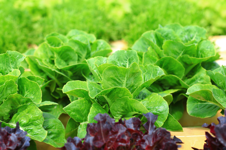 Organic hydroponic vegetable cultivation farm, Green  cos lettuce. Stock Photo