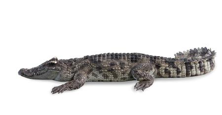 Freshwater crocodile isolated on white background, clipping path.