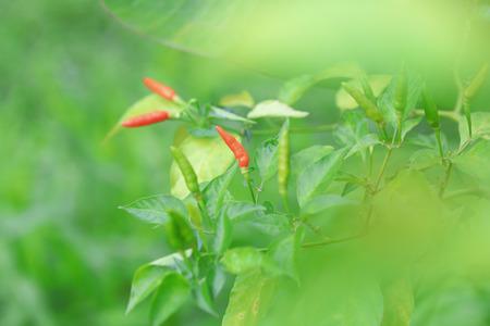 Chilli in organic farm of Thailand. Stock Photo