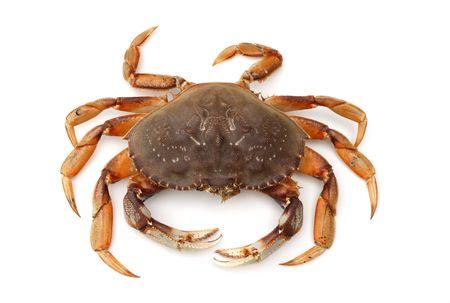 isolated crab on white background photo