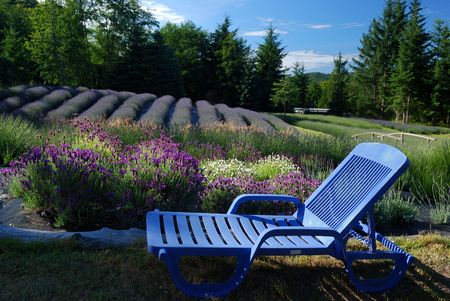 lavender farm Foto de archivo