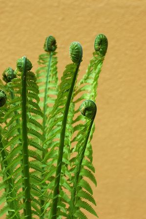 fern fiddlehead: fern