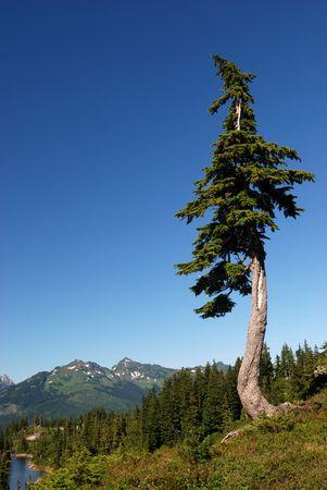 douglas: douglas tree in mt. baker park