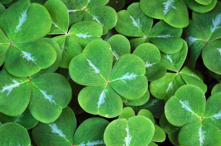 clover leaf background Stock Photo - 3590779