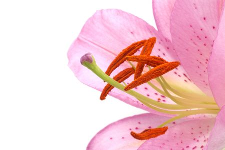 pink lily and white background photo