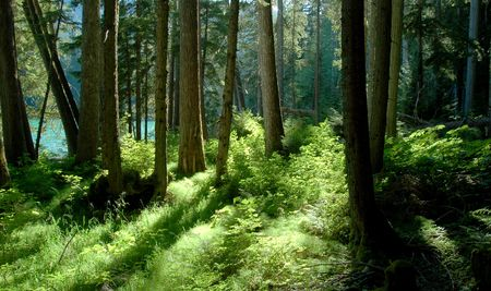 forest by cheakamus lake, garibaldi provincial park photo
