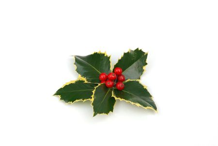 berry: holly berries