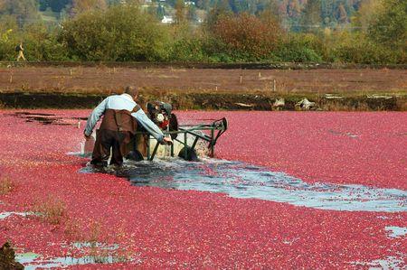 cranberry harvesting photo
