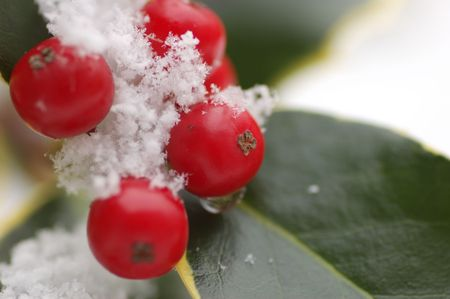 christmas berries: natale bacche