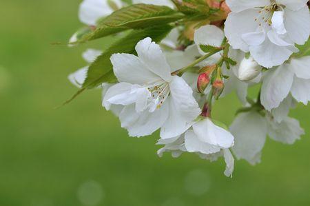 white cherry blossom Stock Photo