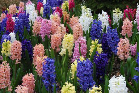 hyacinth: hyacinth flowers