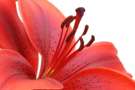 lily flower: red lily  on white background