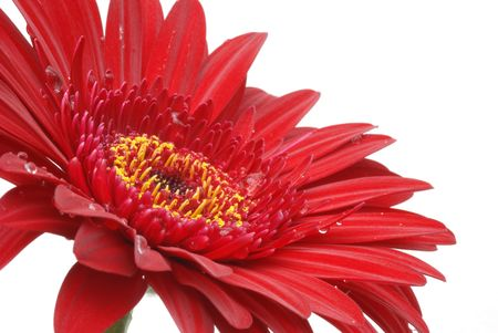 red gerber daisy on white background