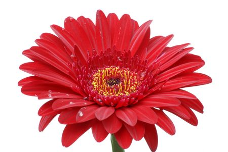 red gerber daisy: red gerber daisy on white background