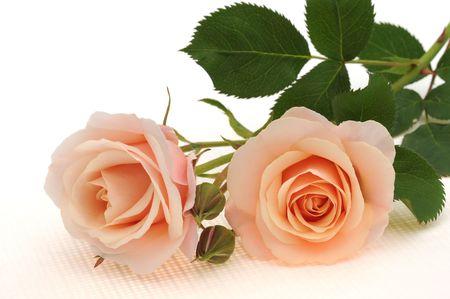 白地にピンクのバラ 写真素材