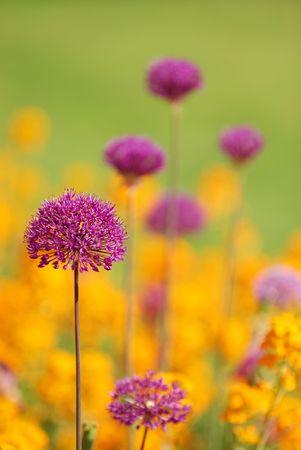 purple alium with yellow flower background photo
