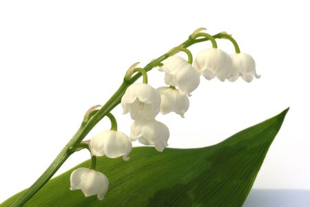 lily of the valley: lily-of-the-valley Stock Photo