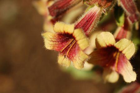 中国のジギタリスの花