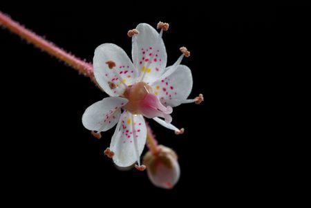 saxifrange flower macro shoot