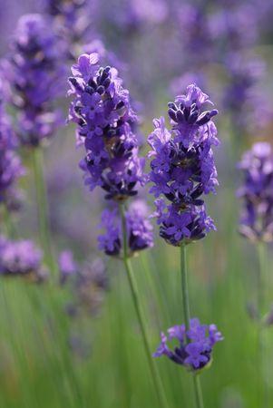 lavender flowers Banco de Imagens