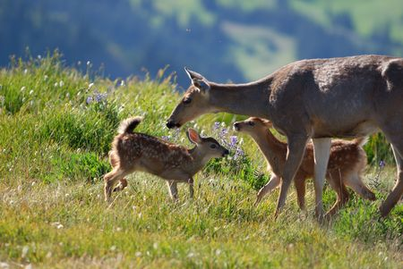 mother deer and fawns photo