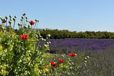 red poppy flower and lavender field photo