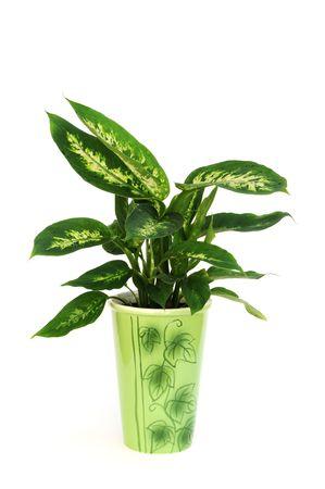dieffenbachia plant on white  Stock Photo