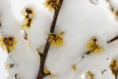 mollis: hamamelis mollis flowers covered with snow Stock Photo