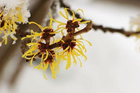 hamamelis mollis flowers Stock Photo - 3623399