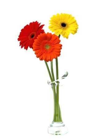 gerber daisy  flowers isolated on white