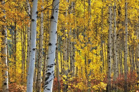 birch bark: White birch trees in autumn