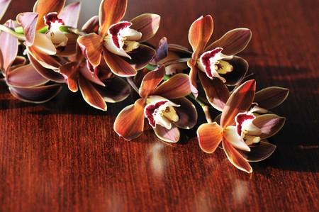 Burgundy cymbidium orchid flowers