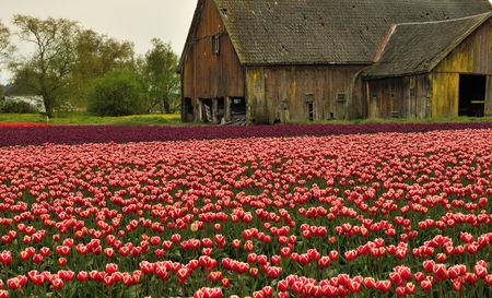 dilapidated: Tulip field with dilapidated old barn