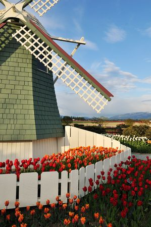 Tulip flowers and windmill in roozengaarde, skagit valley photo