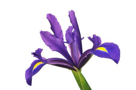 dutch: Purple Dutch Iris isolated on white background