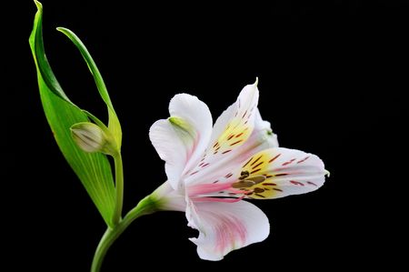 peruvian lily isolated on black background photo