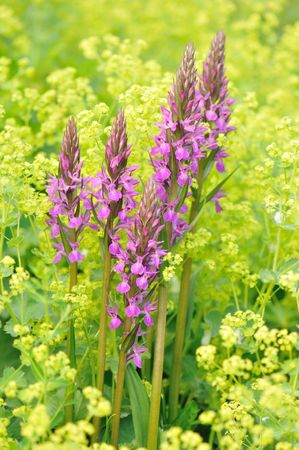 alchemilla mollis: purple loosestrife and yellow lady's mantle flowers