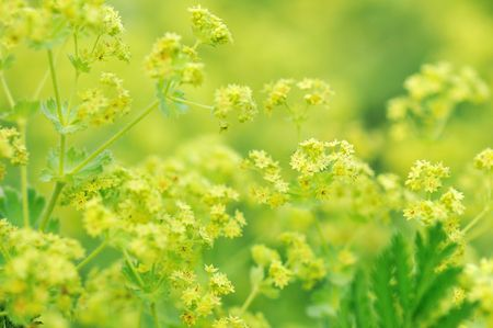alchemilla: lady's mantle flowers Stock Photo