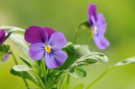 purple pansy flower with soft green background Stock Photo