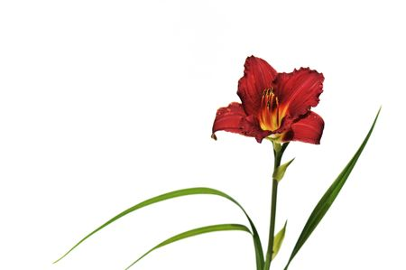 Dark red daylily isolated on white background