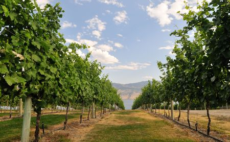 View of Okanagan Lake, through a vineyard on a hillside near Kelowna