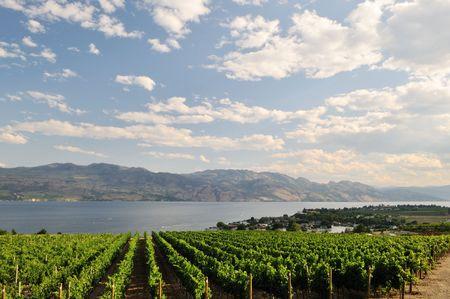 hillside: View of Okanagan Lake, through a vineyard on a hillside near Kelowna