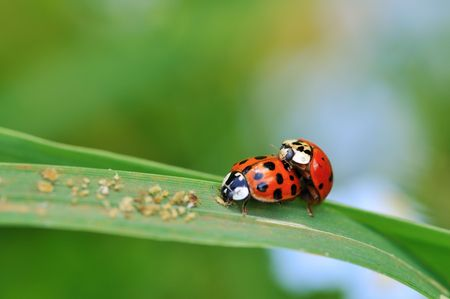 copulate: Two ladybugs mating on grass leaf in garden Stock Photo
