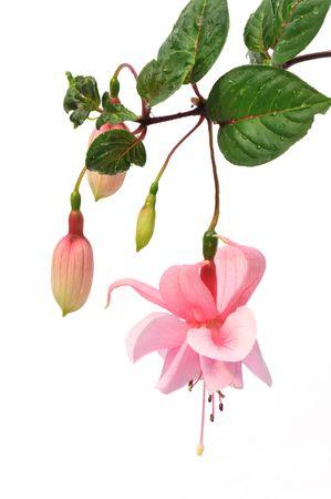 白い背景上に分離されてピンクのフクシアの花 写真素材