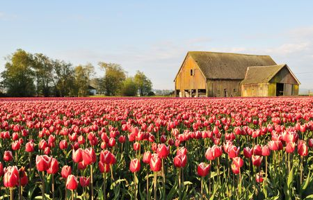Tulip field with dilapidated old barn, Skagit Valley, Washington
