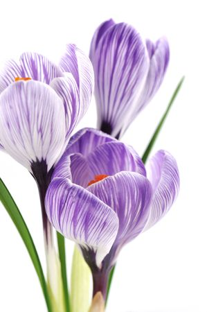 stripe: Purple crocuses with stripes on white background