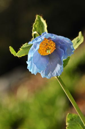 himalayan: Himalayan blue poppy flower, in naturalized garden Stock Photo