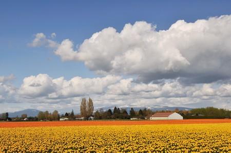 skagit: yellow and orange tulips in skagit valley farm  washington