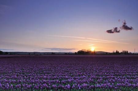skagit: skagit valley tulip field with purple tulips at sunset