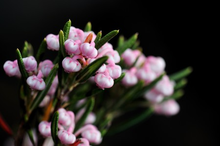andromeda: bog rosemary, andromeda polifolia, on black background Stock Photo
